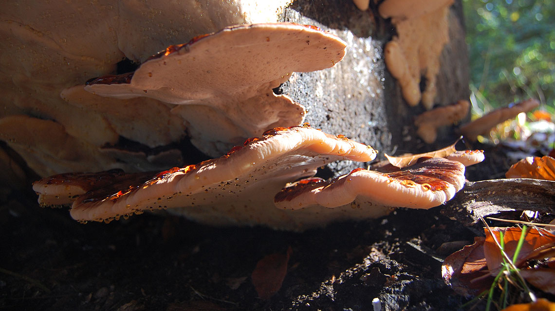 Baum-Pilz