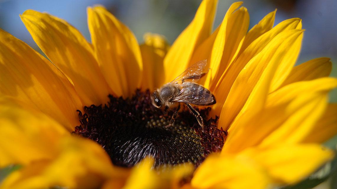 Sonnenblume-Biene