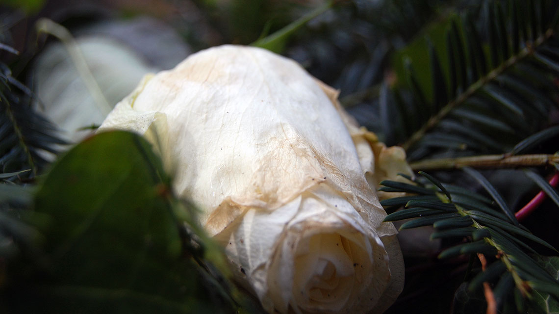 Weiße Rose auf einem der Gräber.