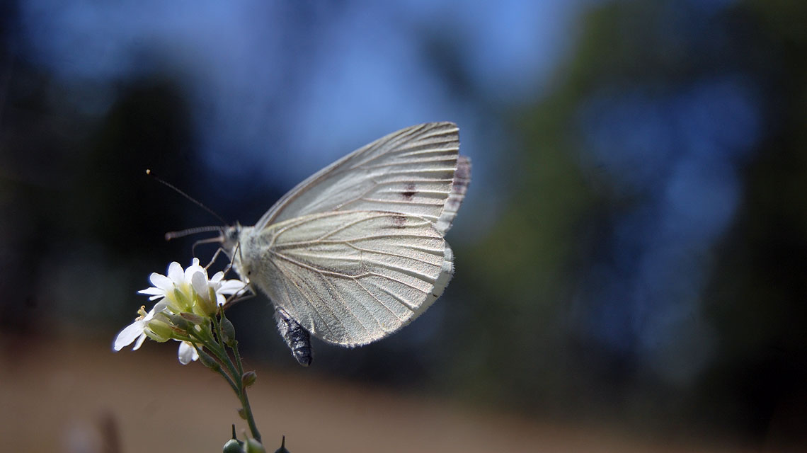 Kohlweißling-Schmetterling