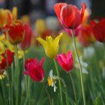 Blumenwiese-Tulpen-Frühling