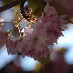 Frühling-Berlin-Kirschblüte