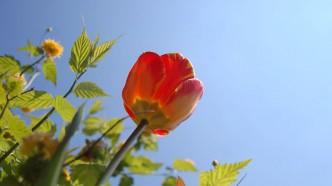 Frühling-Berlin-Tulpen-Blumen