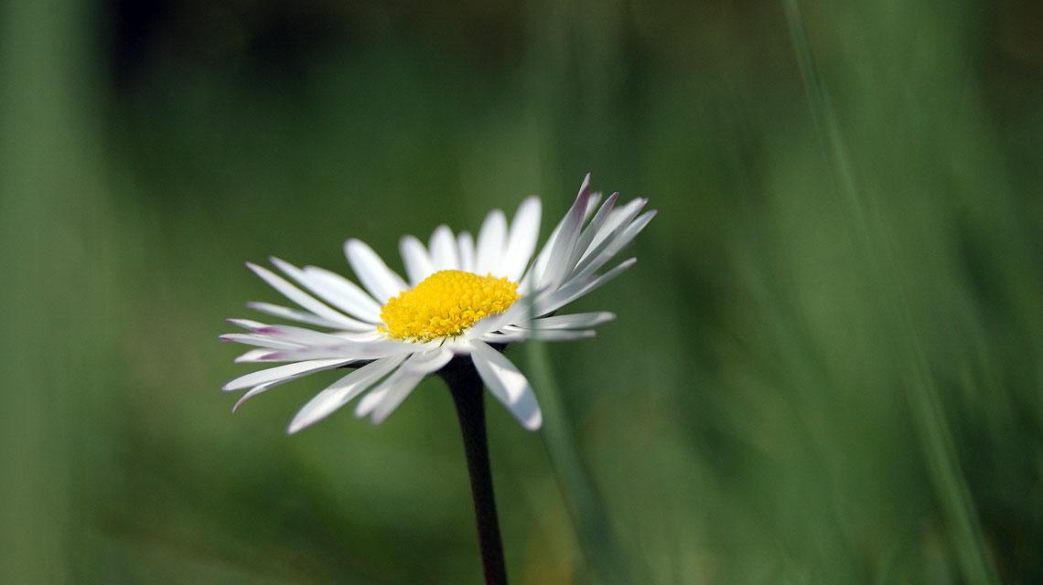Gänseblume-Gänseblümchen-Frühling-Foto