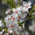 Mandelbaumblüten-Bilder-Deutschland-Berlin