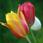 Tulpen-Bilder-Foto