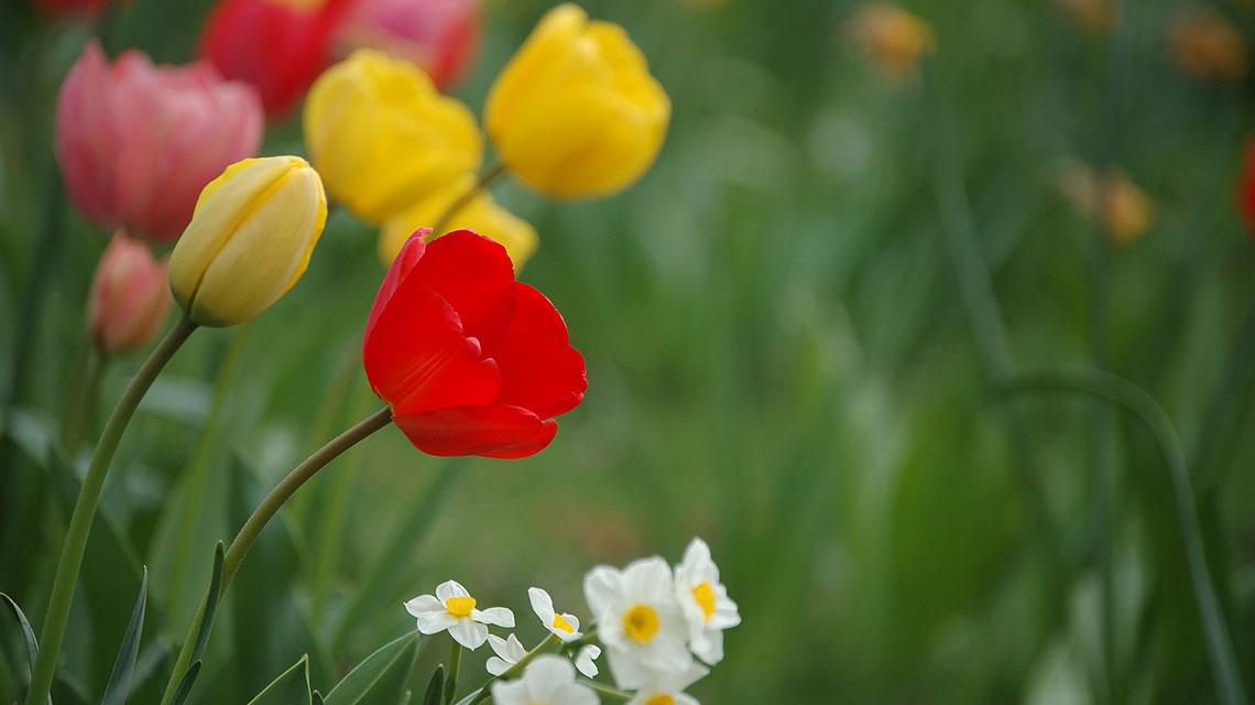 Tulpen-Frühling-Berlin-Tegel